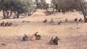 Rabbits - Western NSW